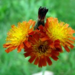Orange Hawkweed Thumbnail
