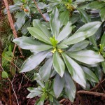 Spurge Laurel Thumbnail