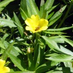 Water Primrose Willow Thumbnail