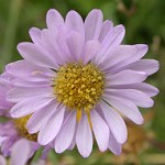 willamette daisy from ODA webpage